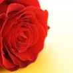 Day Valentine red rose — Stock Photo