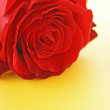 Day Valentine red rose and empty space for text — Stock Photo