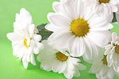 White camomile bouquet on green background — Stock Photo