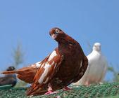 Beautiful pigeon — Stock Photo