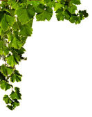 Branches of grape — Stock Photo