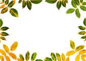 Autumn walnut leaves — Stock Photo