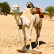 Stock Photo: White camel