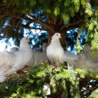 White decorative pigeons — Stock Photo