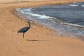 Heron on the beach — Stock fotografie