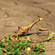 Mantis — Stock Photo #6730181