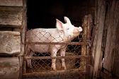 Schweine — Stockfoto