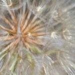 Dandelion Flower Seed Head Closeup — Stock Photo #6706851