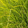 Prairie Dropseed Ornamental Grass — Stock Photo