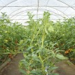 Stock Photo: Tomato plants growing in greenhouse