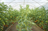 Tomato plants growing in a greenhouse — Stock Photo