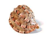 Sea shell. — Stock Photo