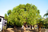Pine growing on an eminence, Turkey