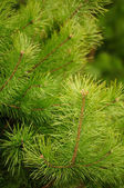 Young Green Pine Branches
