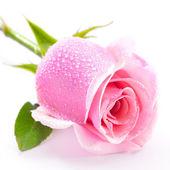 Růžová růže izolovaných na bílém pozadí