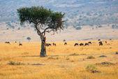 Africká krajina s solitérní strom a antilopy