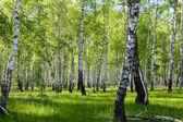 Summer birch forest landscape