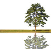Single pine with reflection