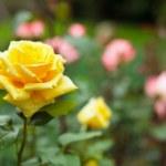 thumbnail of Bush of yellow roses
