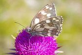 Melanargia galathea motýl