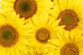 Krásné pozadí žluté slunečnice