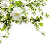 Primavera mela albero fioritura rami confine sopra bianco