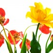 thumbnail of Tulips