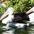thumbnail of Australian pelican has a rest in the Perth Zoo