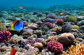 Photo of a coral colony on a reef, Red Sea, Egypt