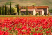 Tuscan red poppies