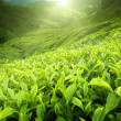 thumbnail of Tea plantation Cameron highlands, Malaysia