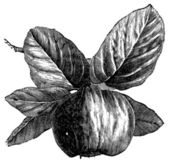 Quince or Cydonia oblonga vintage engraving Old engraved illustration of a Quince