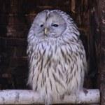 Постер, плакат: Sleeping owl
