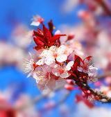 Fiori di ciliegio sbocciano in primavera su sfondo blu cielo naturale