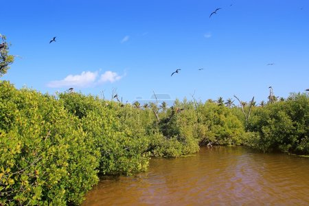 Постер, плакат: Frigate bird reproduction Contoy island mangrove, холст на подрамнике
