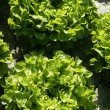 thumbnail of Green lettuce country in Spain