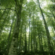 thumbnail of Beech green magic forest woods