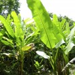 thumbnail of Banana trees field detail in mexico