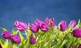 Tulipán rózsaszín virág kék stúdió háttere