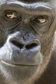 Gorila portrét
