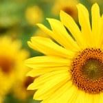 thumbnail of Sunflowers