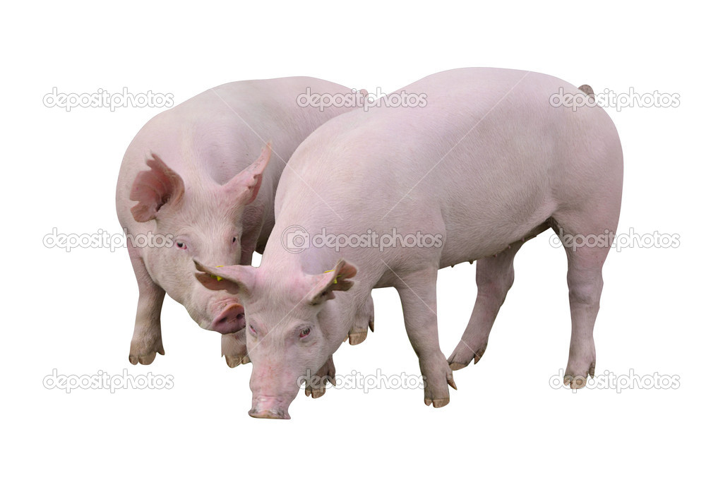 Pigs isolated on white