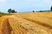 Pšeničné pole a modré nebe.