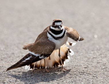 Killdeer bird warding off danger