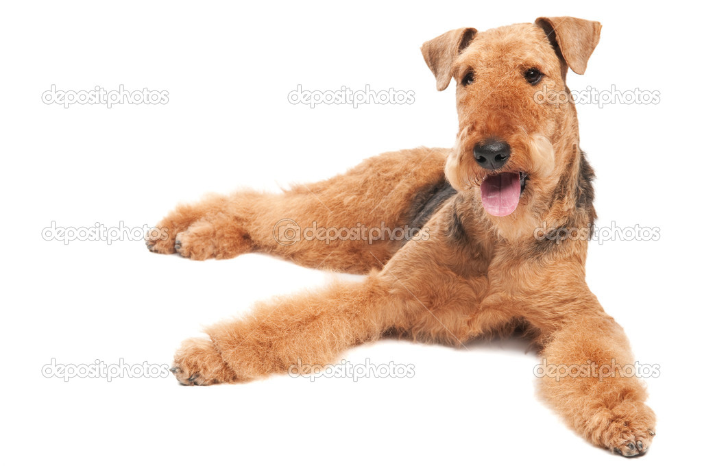 airedale terrier club of america - 800×531