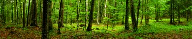 Deep forest Panorama