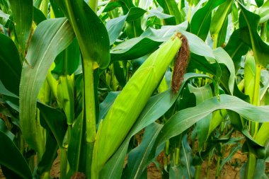 Corn Ears with Silk and Stalks