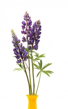 Lupin Flowers In Vase
