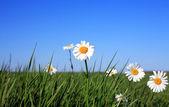 květy sedmikrásky oka