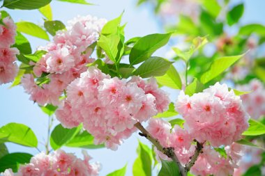 Pink abloom japanese cherry (sakura) blossom in sunny spring day